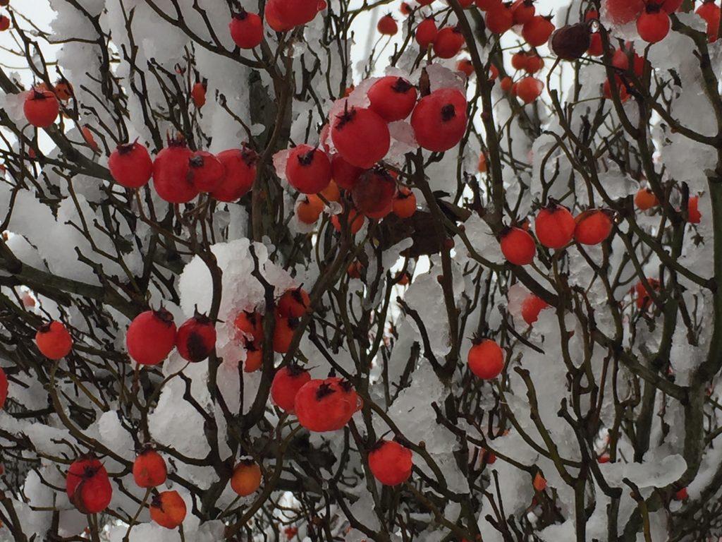 Rowan berries in the snow.